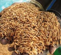 Ouf de soulagement des habitants de Matam : Une usine de décorticage de riz paddy bientôt à Bokidiawé