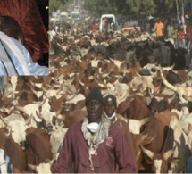 Cheikh Béthio, ses disciples et le Magal: Les bouchées doubles.. 3 000 bœufs en vue