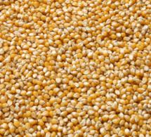 Maïs : Le prix du kg de maïs séché augmente de 1,4% en décembre 2015 au Sénégal